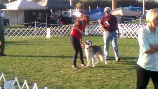 Siberian Husky, Kooza, In Akc Obedience, Novice B