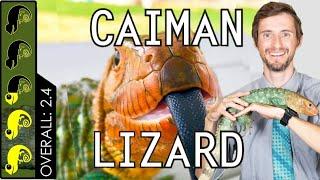 Caiman Lizard, The Best Pet Lizard?