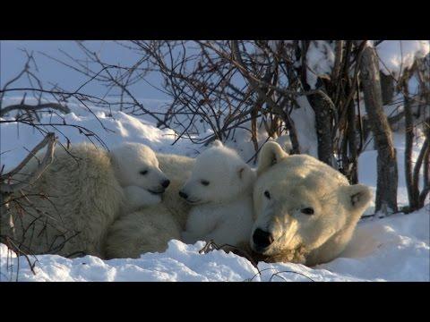 Polar Bear Cubs Disrupt Mom's Nap