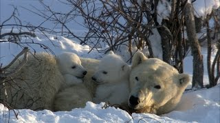 Polar Bear Cubs Disrupt Moms Nap