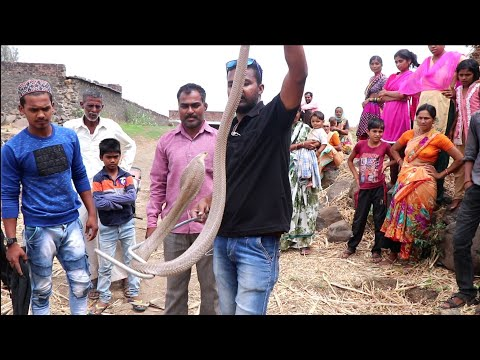 Indian spectacle cobra snake rescue from Mehekari gaon, Ahmednagar, maharashtra