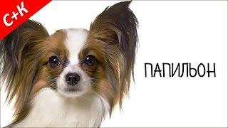 Папильон - породы собак.