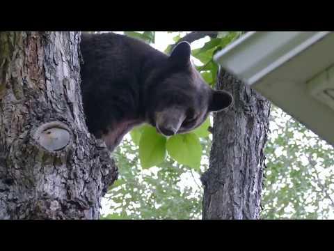 Bear files its nails outside my window
