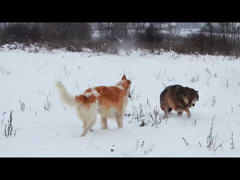 #Russiancaninegreyhound #greyhound #wolf Борзая и ручной волк   Greyhound And Hand Wolf