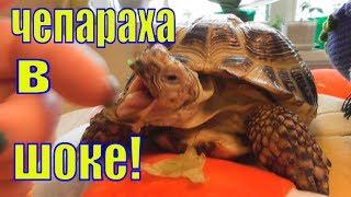 Чепараха в шоке/Смешное видео про черепах/Елена и Зверята/Смешные черепахи
