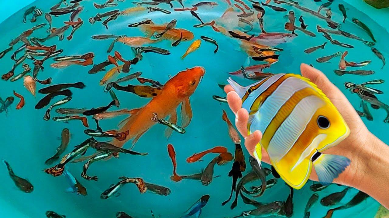 Tiger Barb Betta Ram Cichlid Guppy Koi Carp Fish PingPong Pearl Scale Goldfish Catfish animals Video