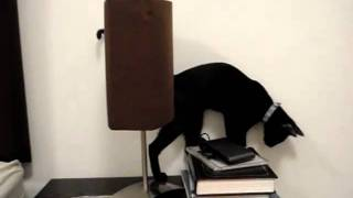Порода кошки- АРАБСКАЯ МАУ