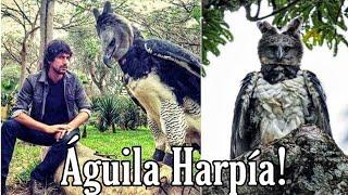 El Águila más Poderosa del Mundo, (Águila Harpía) 🤔🤯
