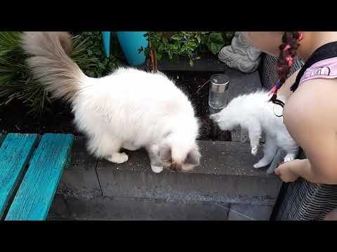 Nu bij onze kitten ragdoll ! De action borstel vinden ze heerlijk! Test geslaagd ♡