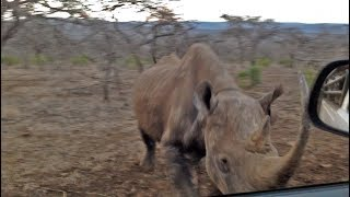 Rhino Charges and Hits Car!