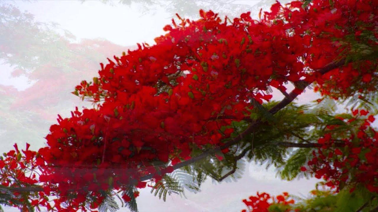 Arbol de fuego alfredo espino youtube for Arbol de fuego jardin