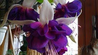 фуксия цветет