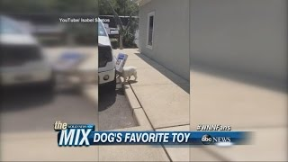 Box-loving Bulldog Discovers His New Favorite Toy | Abc News