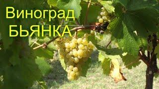 видео Виноград сорт Августин: описание сорта, характеристика, уход