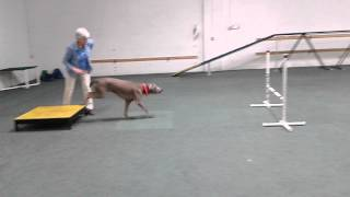 Oliver The Weimaraner Does His First Jump