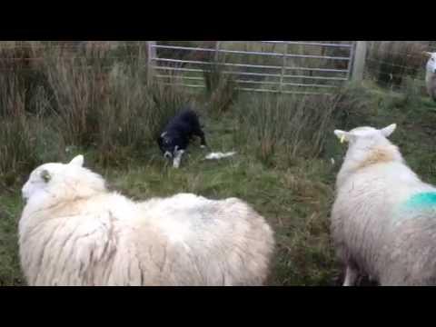 D Edwards sheepdogs spot 12 weeks