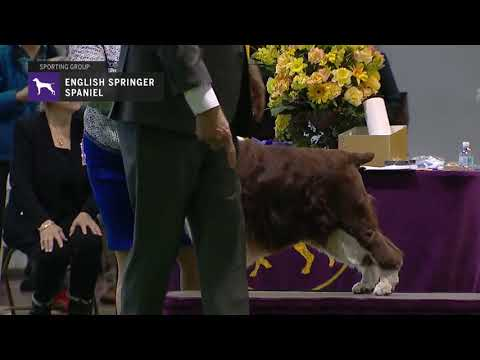 Spaniels English Springer | Breed Judging 2019
