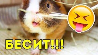Минусы Морских Свинок ВСЯ ПРАВДА / SvinkiShow
