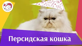 Персидская кошка Характер на  ilikepet