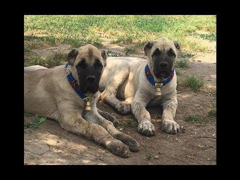 Yavrular Türkçe Versiyonu  -  Puppies Turkish Version
