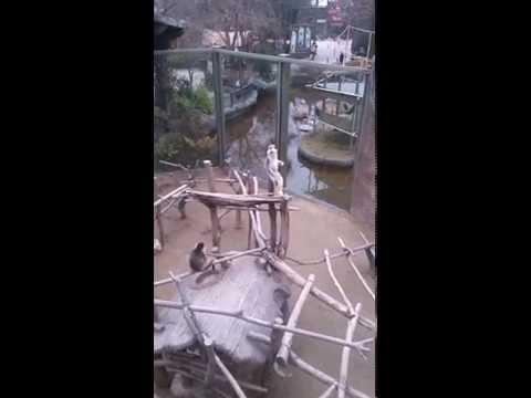 Горе матери обезьянка не может поверить, что ее малыша