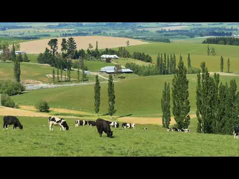 new zealand countryside and black and white cattle pan shvgrgrq  D