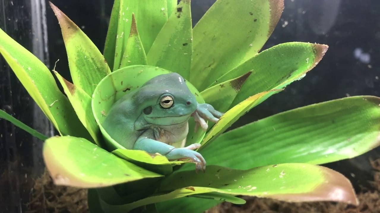 Blue White tree frog - YouTube
