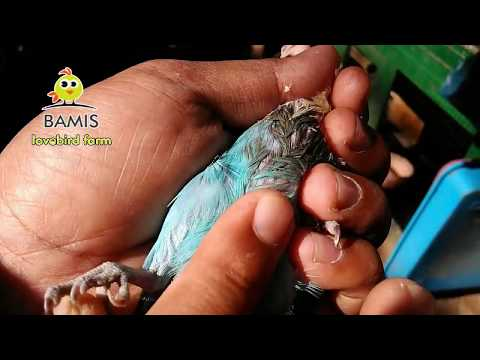 POST HEALTH LOVEBIRD PURPOSE there are 2 WAYS & traits ready to enter the cage again