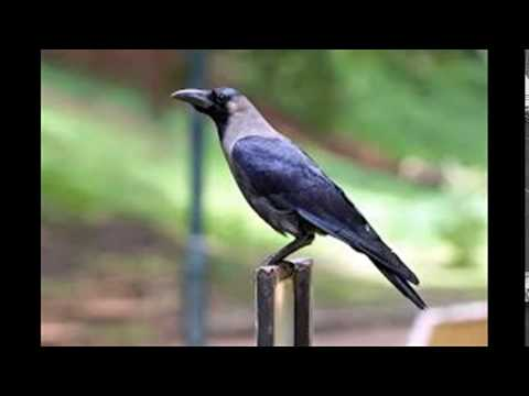 Crow sound Effect Sounds Of The Wild