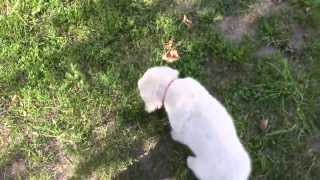 Golden Retriever Puppy - Temperament Test - Outside Following? - Male 1 - Phoebe And Ivan