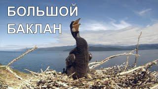 Большой баклан. Cormorant.