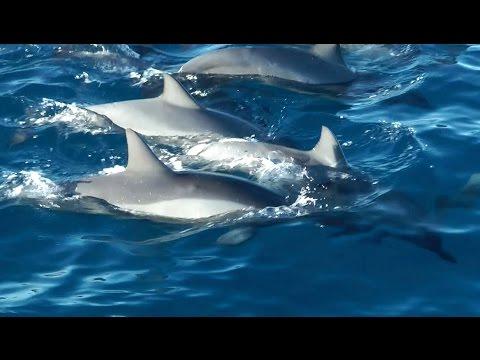 Wild dolphins, whales and turtles - Kauai Sea Wildlife 2015