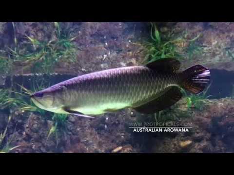 Australian Arowana / Scleropages Jardinii ( Australian Freshwater Fish )