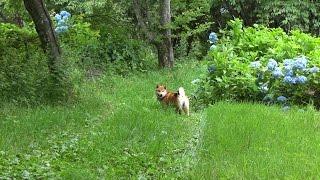 柴犬タロウと家族の日記。 野山を走るタロウ。