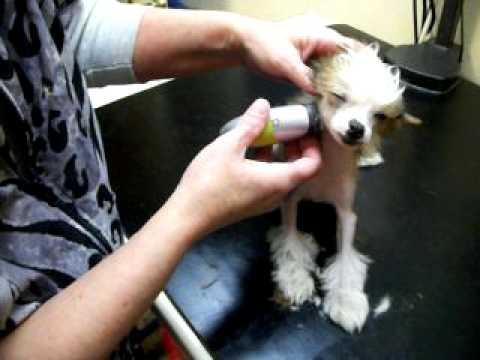 Grooming a Chinese Crested Hairless