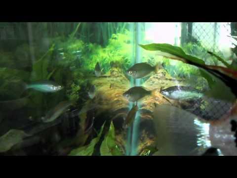 Just Added - MURRAY RIVER RAINBOW FISH