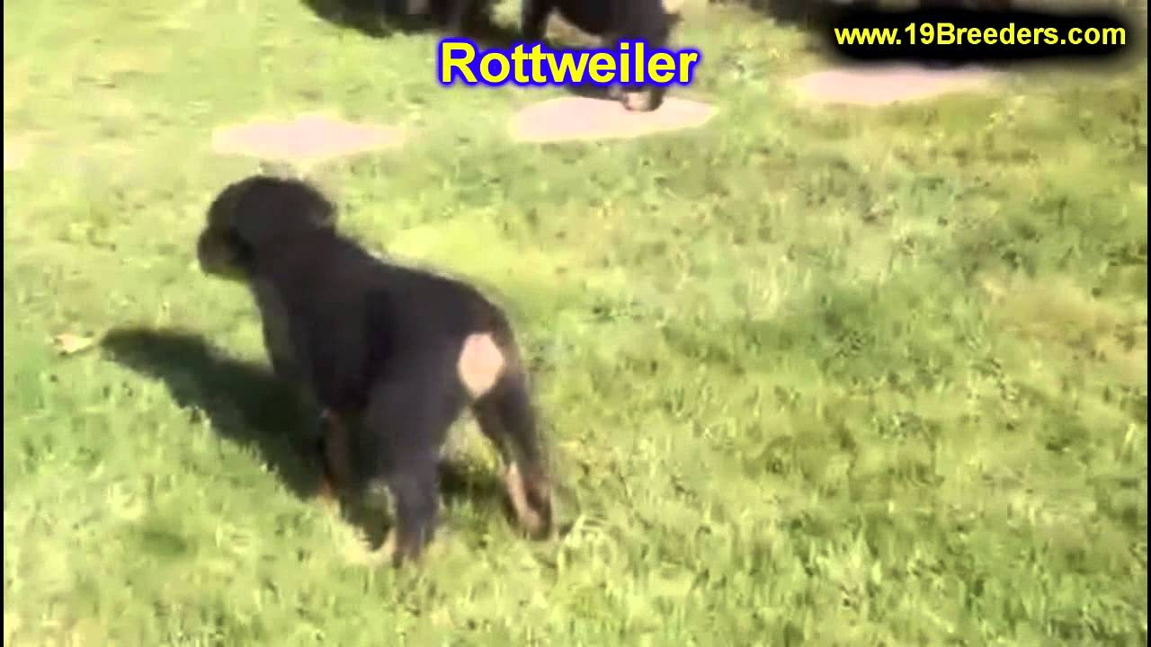 Rottweiler Puppies For Sale In Indianapolis Indiana In