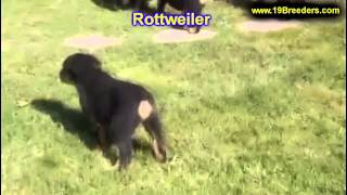Rottweiler, Puppies, For, Sale, In, Indianapolis, Indiana, In, Valparaiso, Goshen, Westfield, Merril