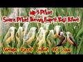 Suara Pikat Burung Emprit Kaji Ribut Mix Sg Pulot  Mp3 - Mp4 Download