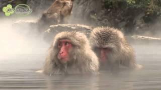 長野県にある地獄谷野猿公苑。ここでは珍しい猿たちの入浴姿が楽しめる...
