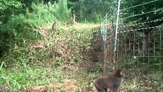 サル用防護柵「おじろ用心棒」は下部のワイヤーメッシュでイノシシとシ...
