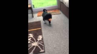 Frank - Shih Tzu Cross Pug - Puppy Tricks!