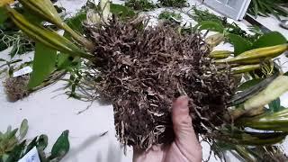 Lan rừng Kon Tum mới nhất tối ngày 22/8/2019-các loại lan rừng hoa đẹp LH Định 0973821799