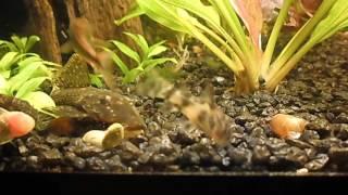 Сомики в аквариуме ужинают