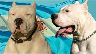 El Gran Poder del Temible Dogo Argentino