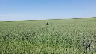 Испанская водяная собака по кличке Никс. Купается в море пшеницы!