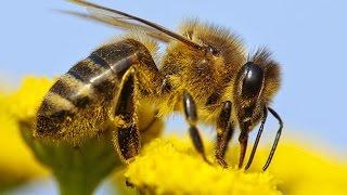 Bienen vom Aussterben bedroht - Der Untergang Doku 2015 *HD*