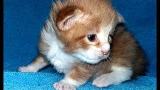 Продажа котят породы Мейн -кун