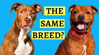 Are Pit Bulls And Staffies the Same? ( Breed Comparison )