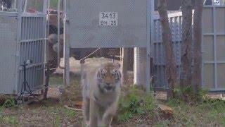 Дикие животные. Тигры на Дальнем Востоке